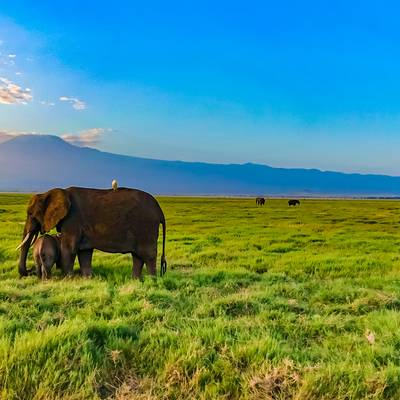 Elephants in the Morning - Amboseli Nationalpark